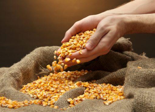 Entregan semilla de maíz con apoyo subsidiado al 100% en Cortazar