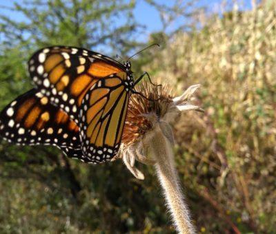 San Miguel de Allende como uno de los puntos del recorrido de la mariposa Monarca